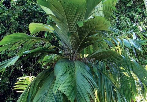 "Palmier des Marquies ""Emu"". © Tahiti Héritage"