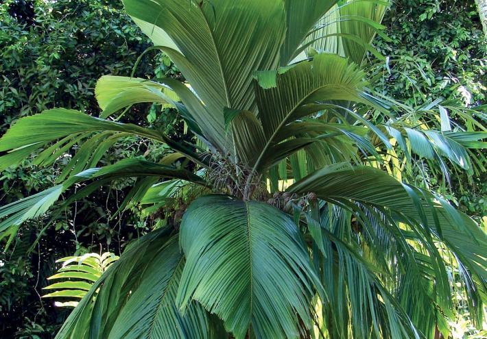 Palmier des Marquies